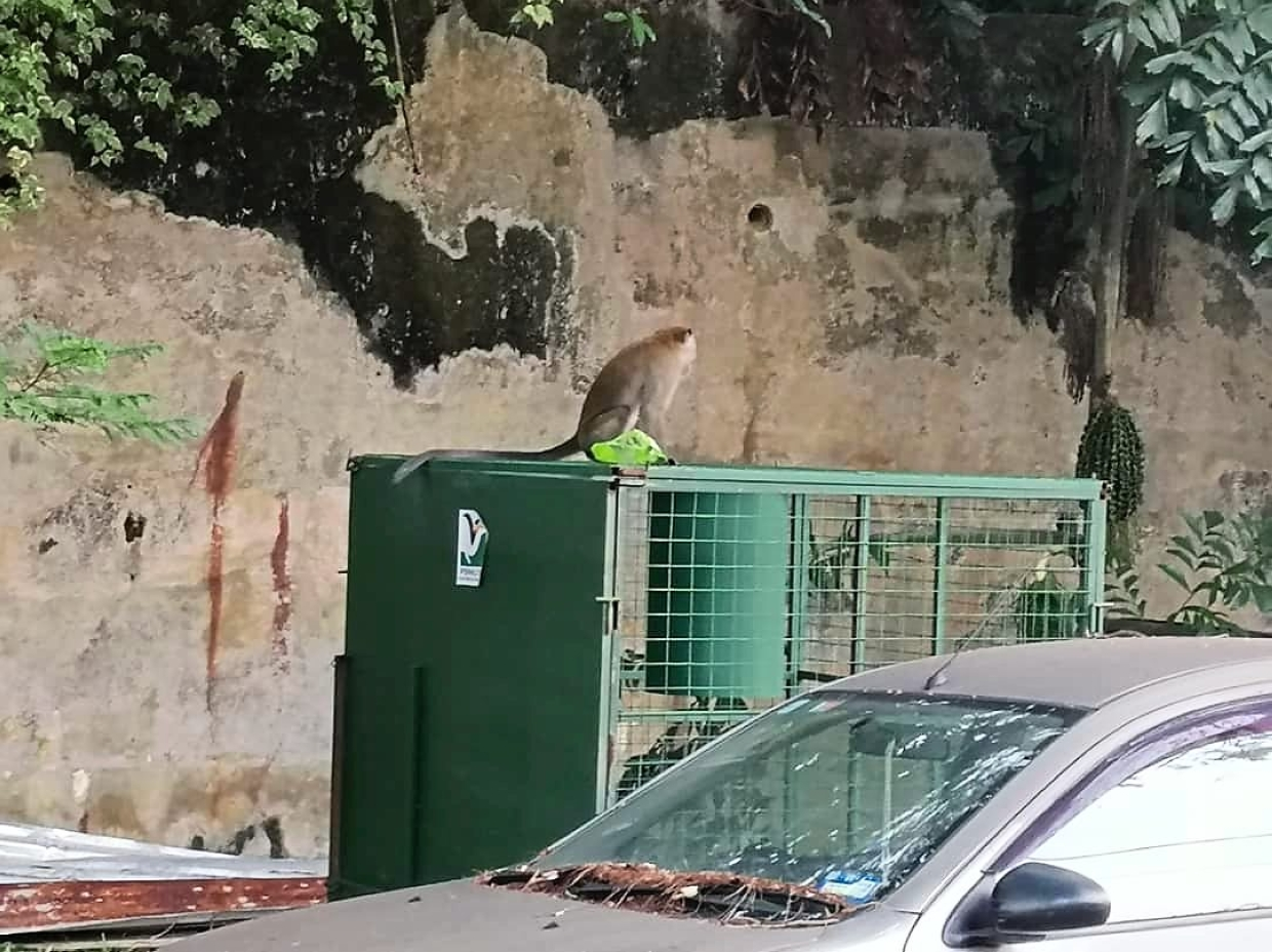 Monkeys from Bukit Gasing seldom get caught in the traps set up by Perhilitan.