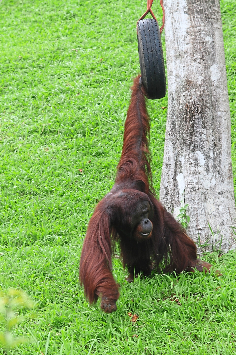 Getha is supporting the wellbeing, conservation and maintenance of five orang utan