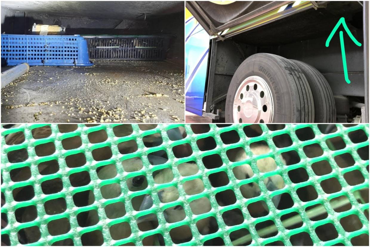 Immigration and Checkpoints Authority officers found 15 containers with a total of 815 birds hidden in the modified compartments above the rear tyres of the bus.