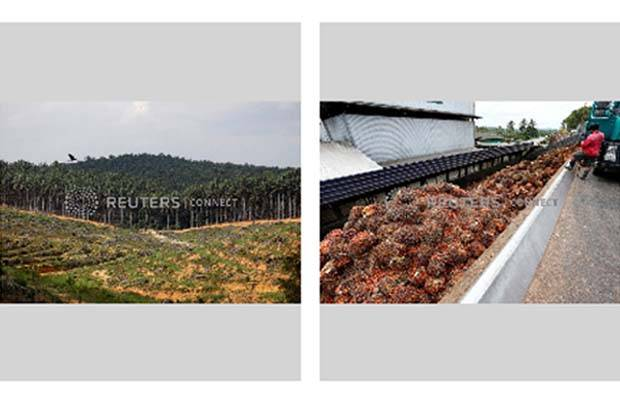 Left: Land that has been cleared is pictured at an oil palm plantation in Johor, Malaysia  Right: A worker unloads palm oil fruit bunches from a lorry inside a palm oil mill in Bahau, Negeri Sembilan, Malaysia  - Reuters filepics