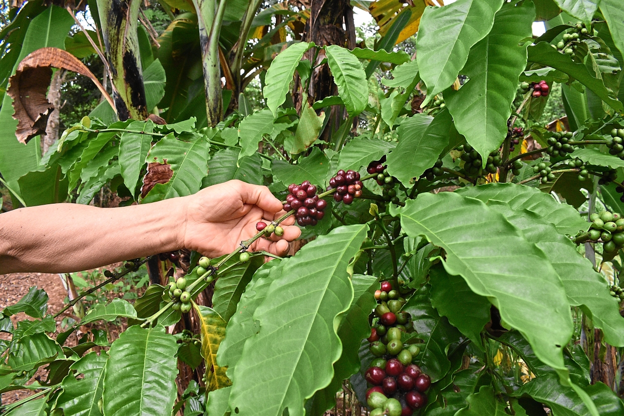 Ripening coffee beans on his land.
