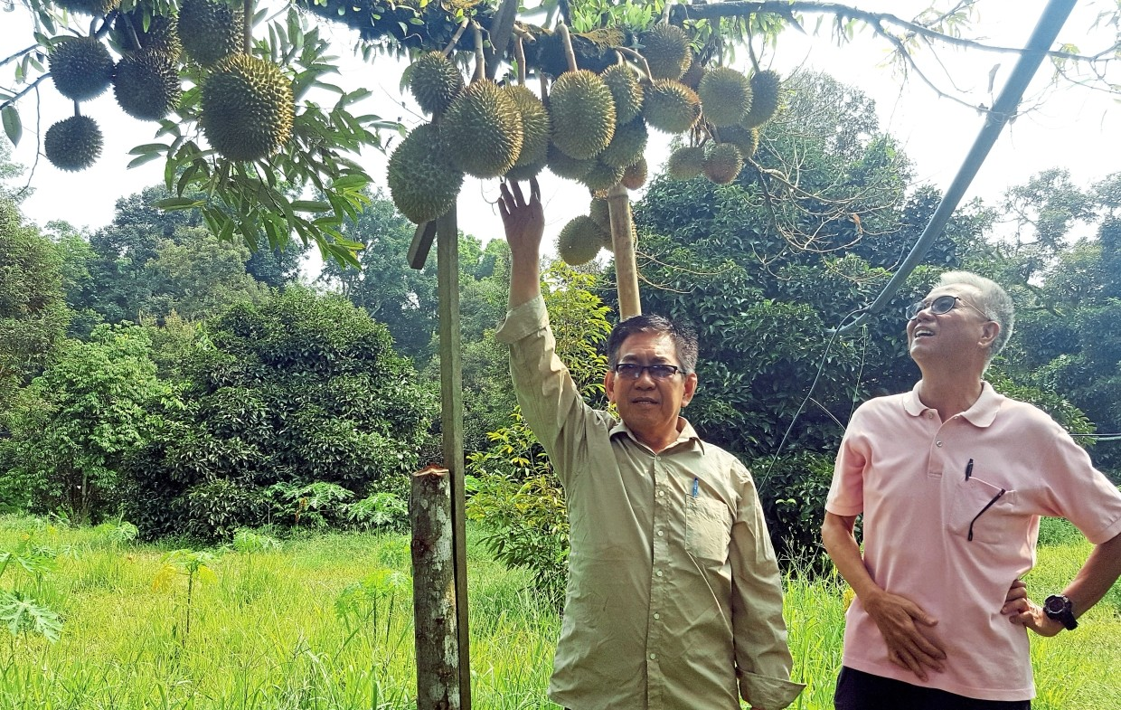 Frankie and  a visitor  taking a  closer look  at the durian specie, D88. It is among several top species growing in his orchard  in Karak, Pahang.