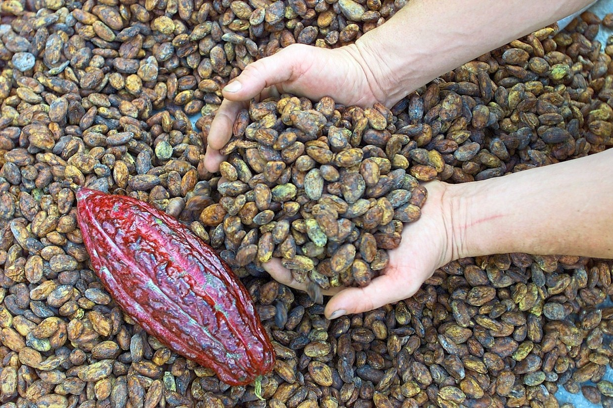 Shrinking plantations: Cacao output in Malaysia has shrunk by half in the past decade as farmers turn to more lucrative crops. — Reuters