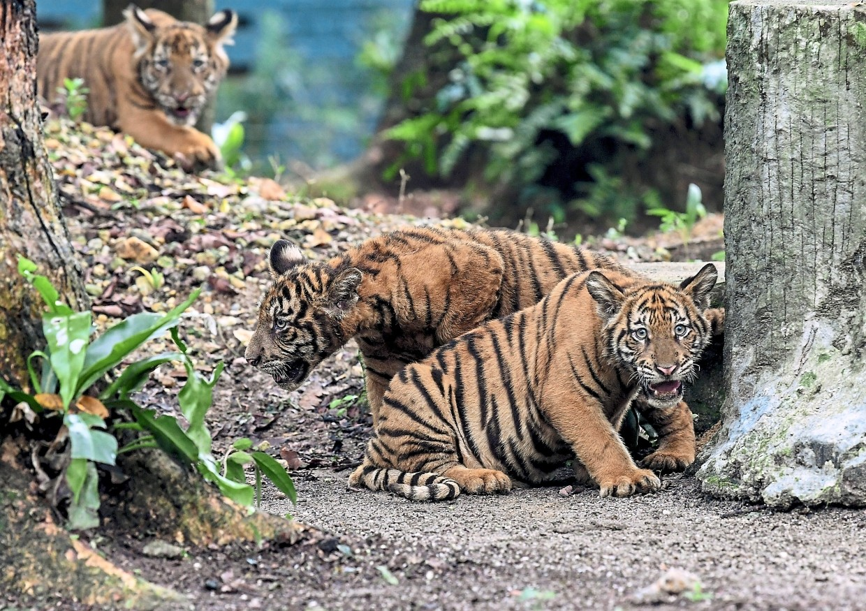 The three tiger cubs – Wira, Hebat and Melur – in their enclosure at Zoo Negara. — Bernama