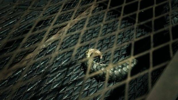 Due to high demand for its meat and scales, pangolins are often poached and sold to syndicates, who then smuggle the animal across borders to China and other markets. PHOTO: Elroi Yee/R.AGE