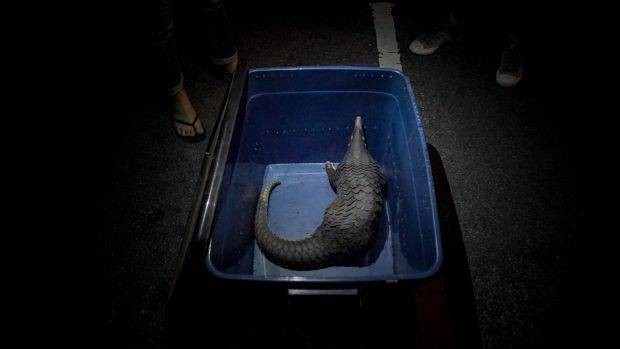 A pangolin rescued from an online wildlife trader during GERC investigations. The pangolin was later released into the jungle by Perhilitan. - PHOTO: Elroi Yee / R.AGE