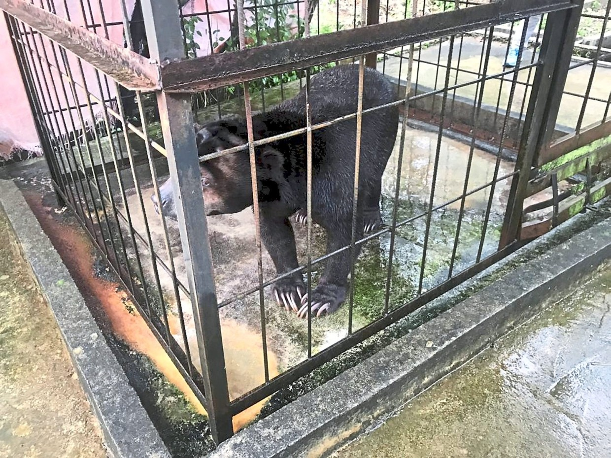 Un-bear-able: The sun bear in the cage that it was kept in for 20 years in Kampung Rasau, Sarawak.