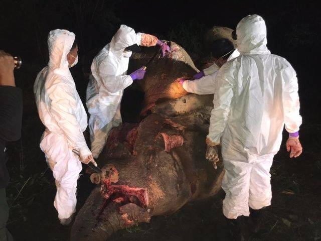 The post-mortem exam being carried out on the carcass of the elephant that was shot about 70 times by poachers before it died and its tusks removed.