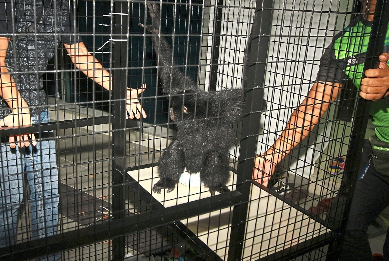 Unnatural habitat: One of the gibbons rescued in the raid in Bukit Jalil.
