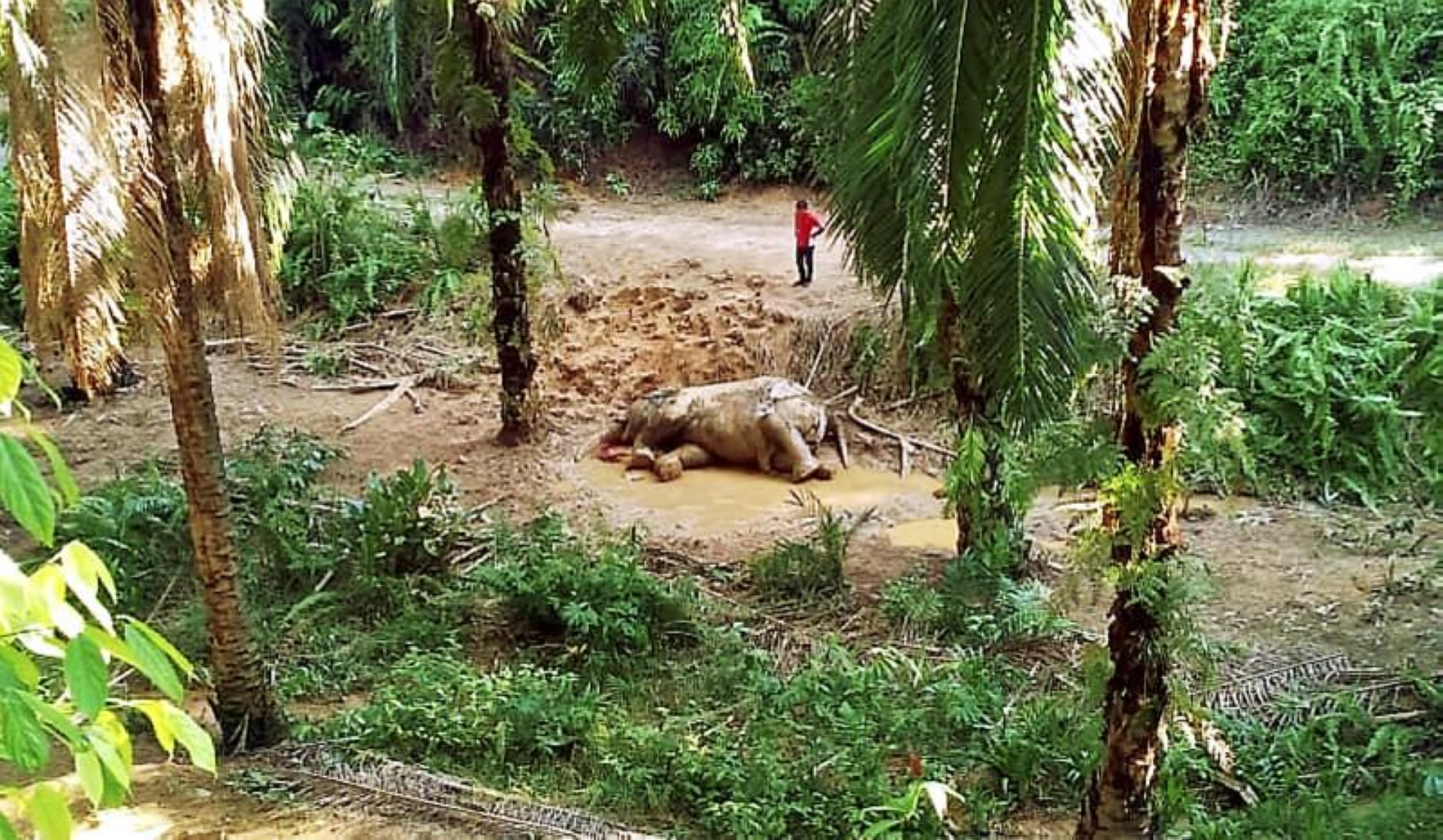 The elephant could have died about five days before the discovery at Ladang Bimbingan in Beluran.