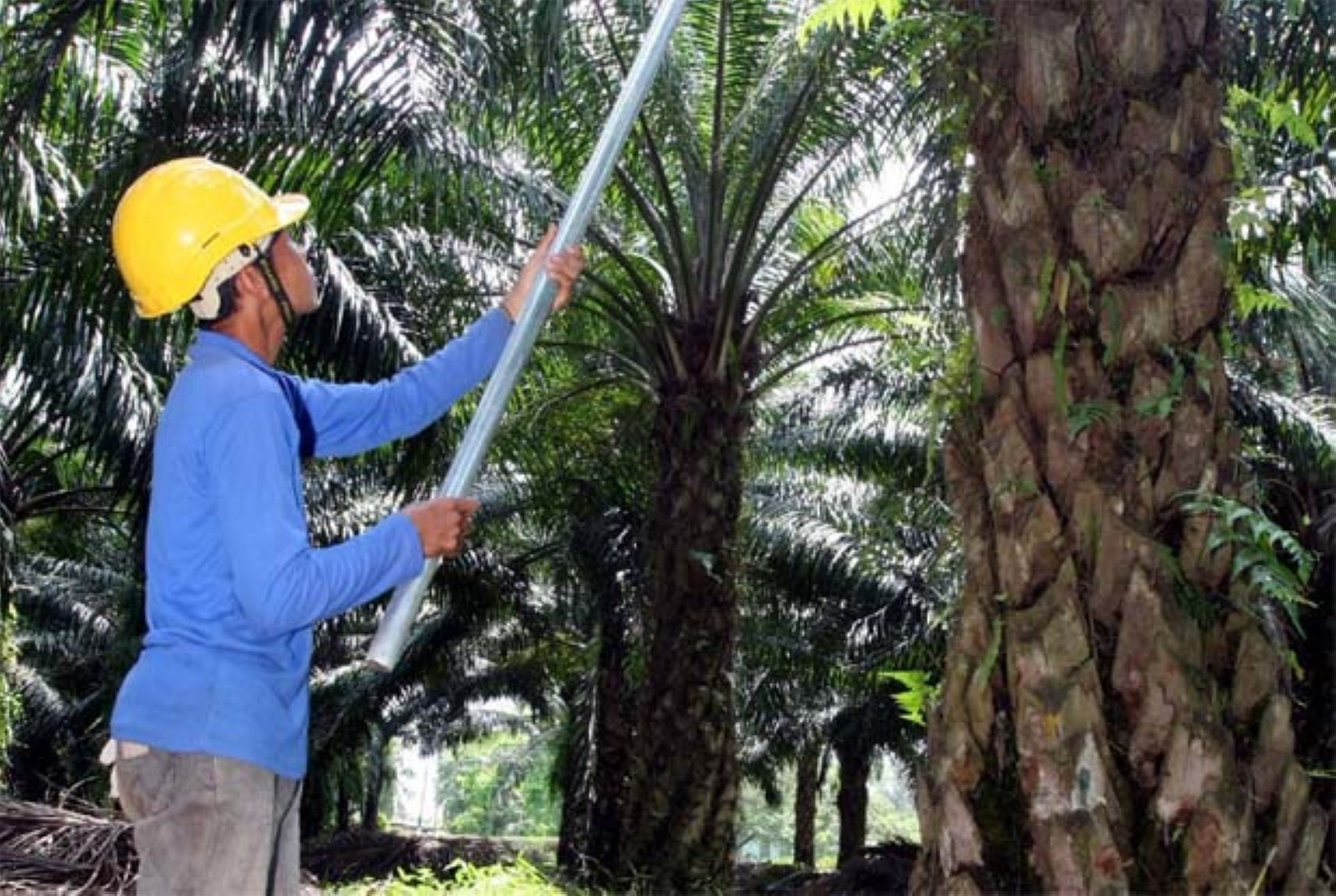 India is a key market for Sime Darby Plantation, representing about 20% of its total CPO exports last year.