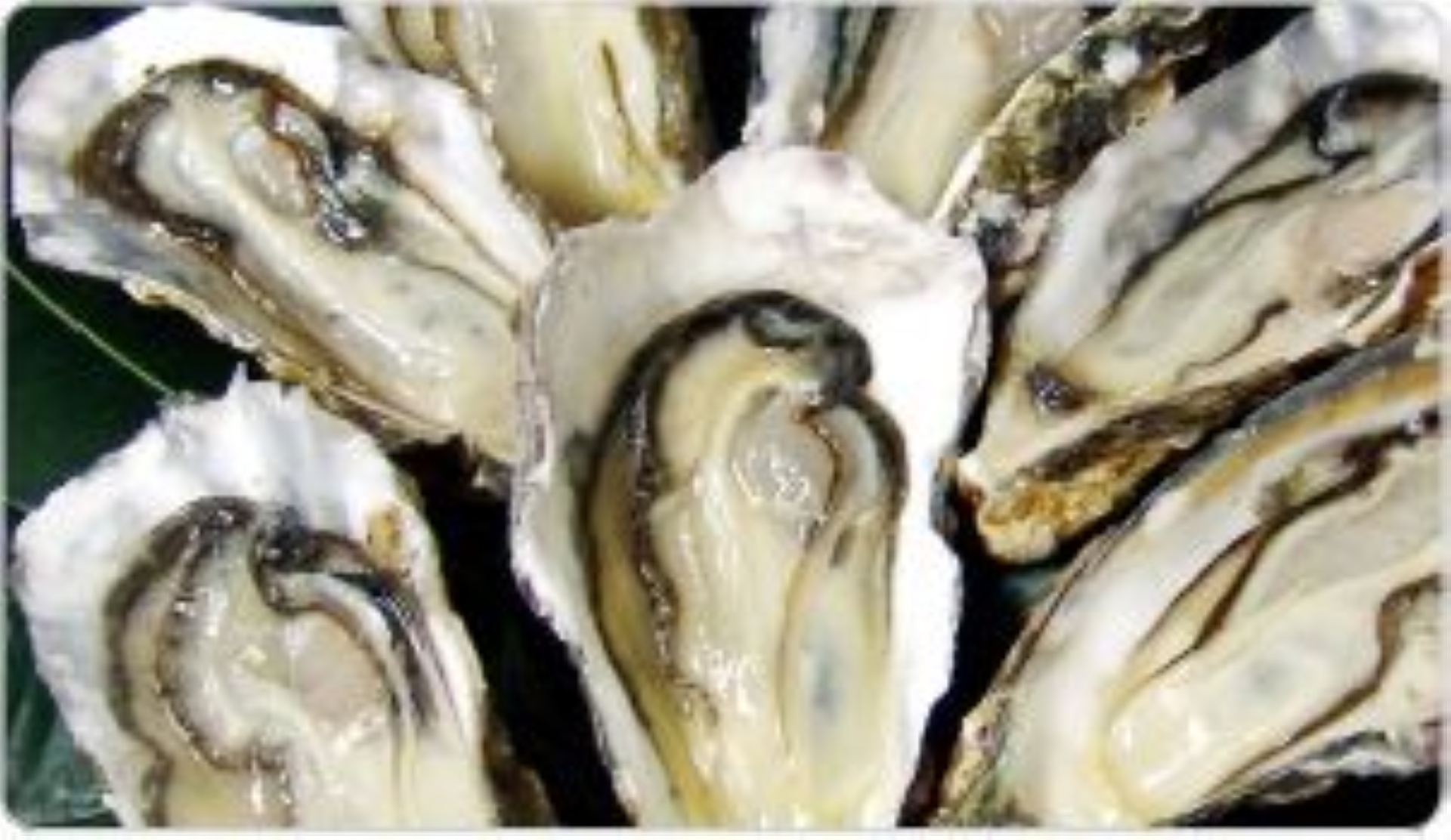 Quality oysters have firm and lustrous meat that looks bright and clear with a milky gloss.