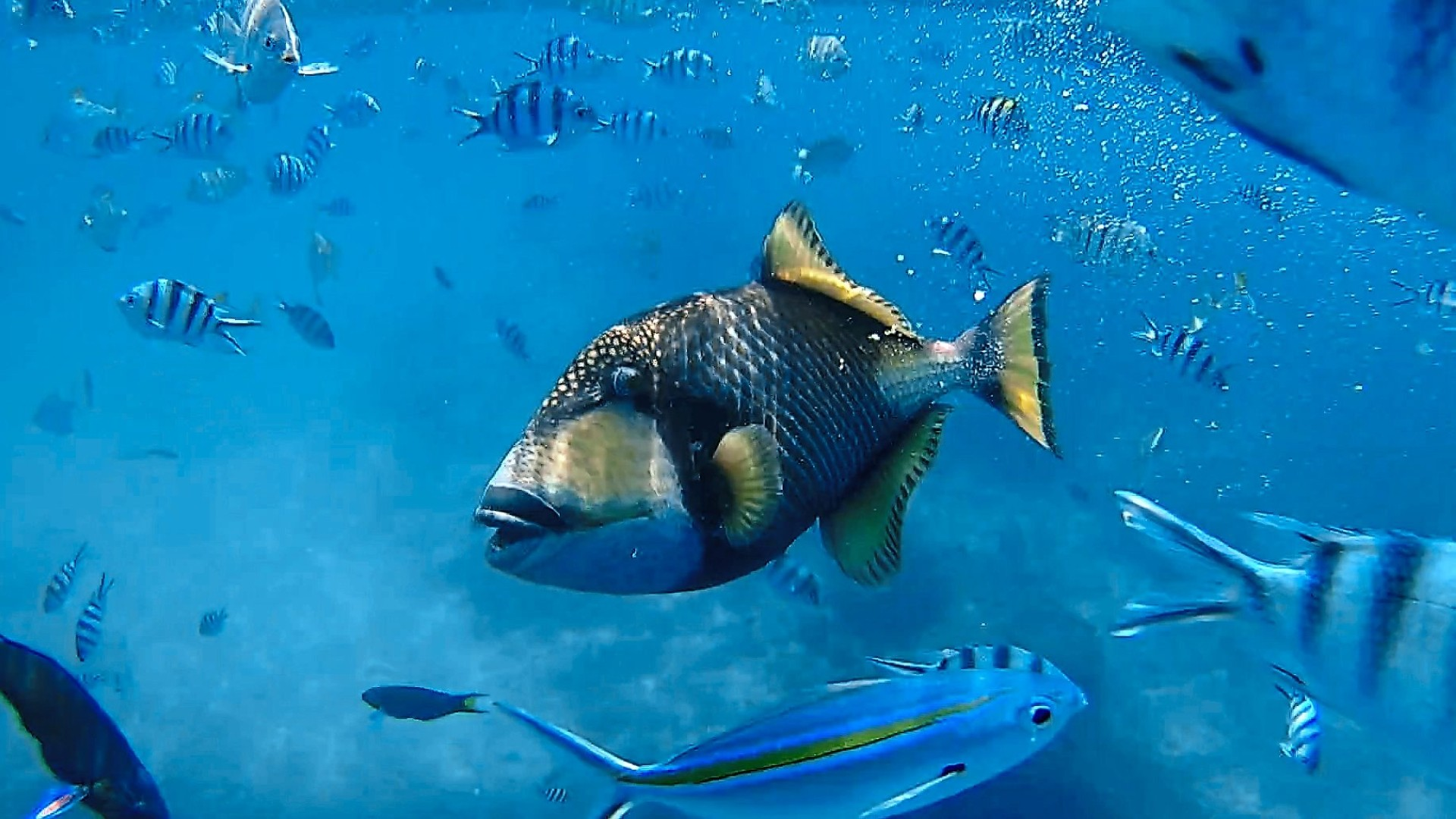 The titan triggerfish is just one of the fishes you can find here. — KENNETH LAM