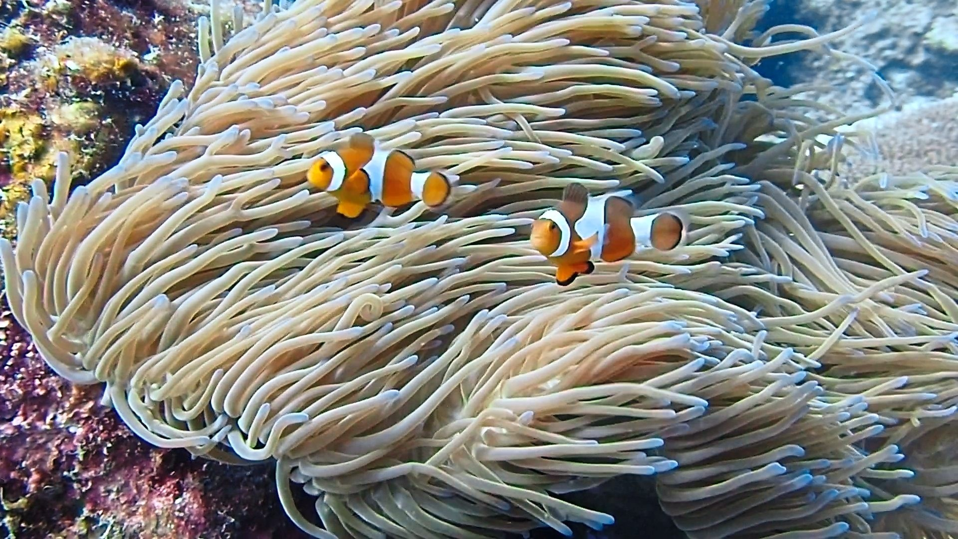 Plenty of clownfish can be found here. — Photos: ANG KUAN WEI