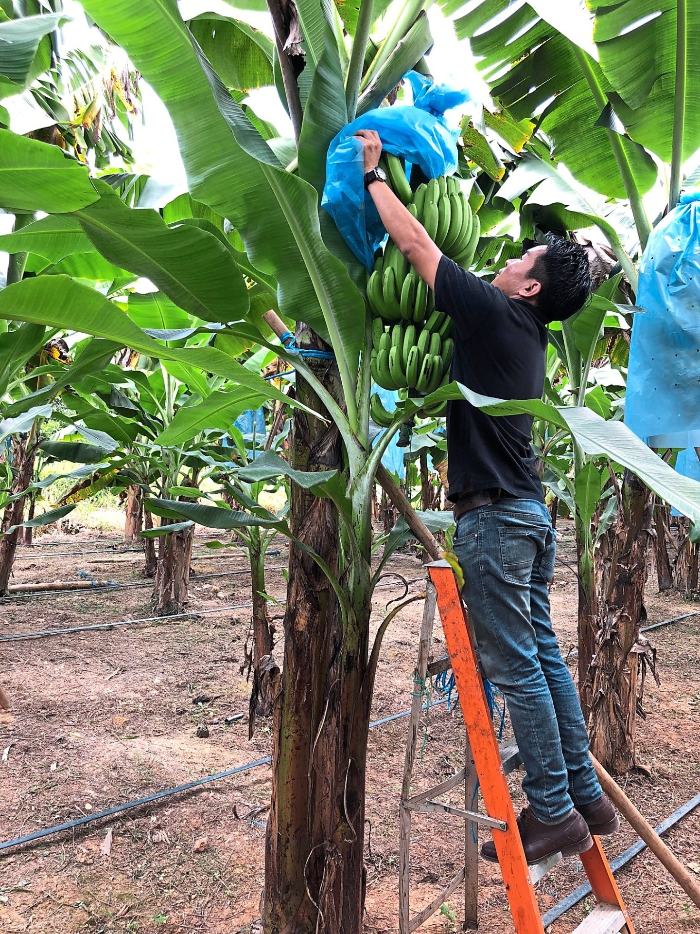 Higher yields: Agrofresh director Edmond Chow unveils a banana bunch at its R&D plantation in Puchong. The Cavendish variety can produce over 30kg of fruits in each cycle.