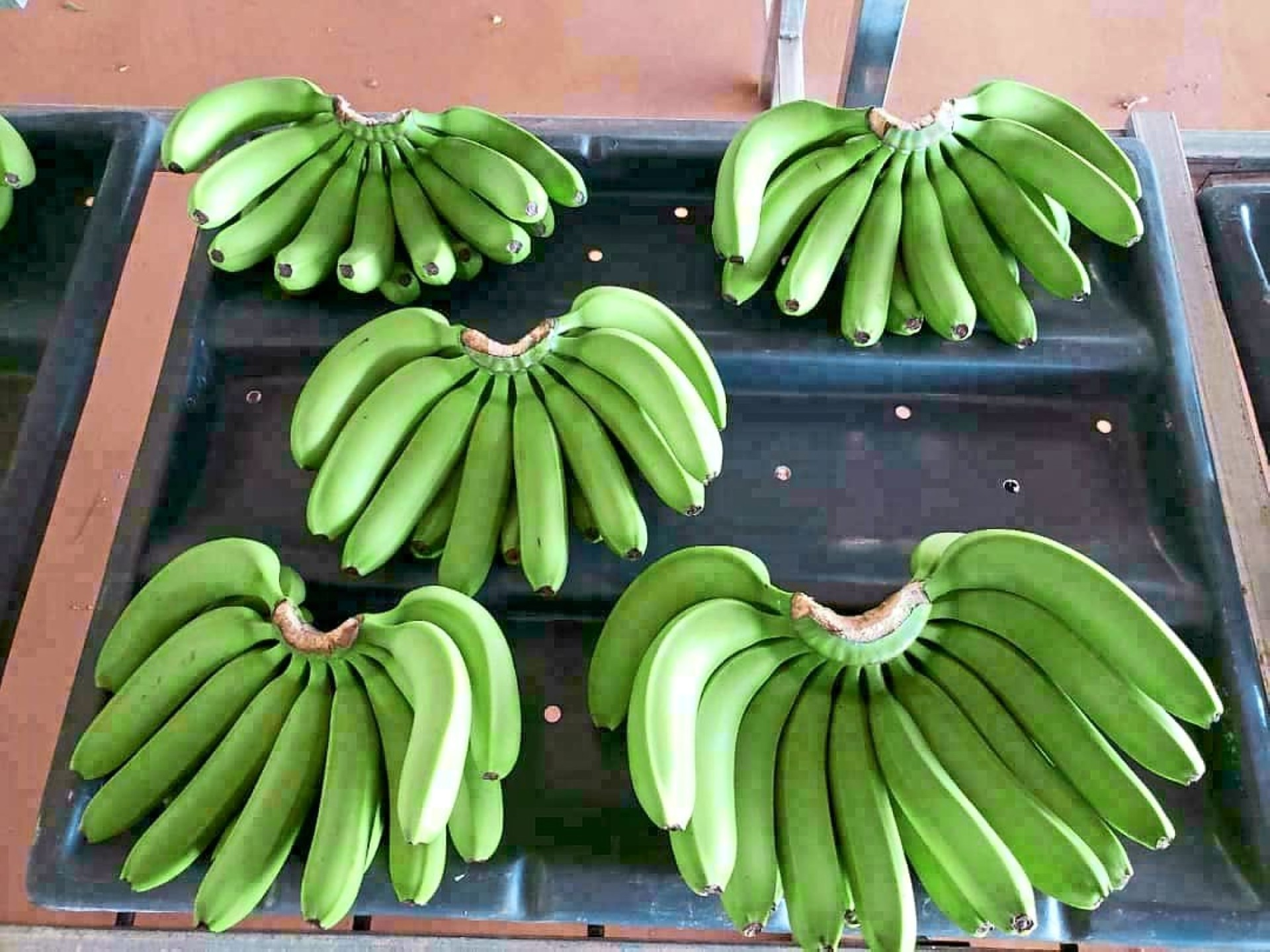 Top-quality fruit: Agrofresh exports Cavendish bananas under its Cavana brand.