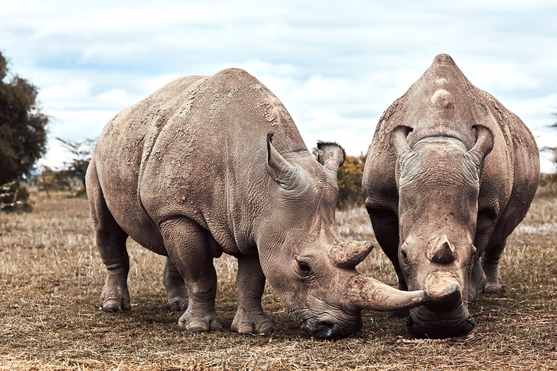 Northern white rhinoceros are on the very brink of extinction. Today just two females are left alive on the planet living at the Ol Pejeta Conservancy, Kenya. Photos BBC Earth