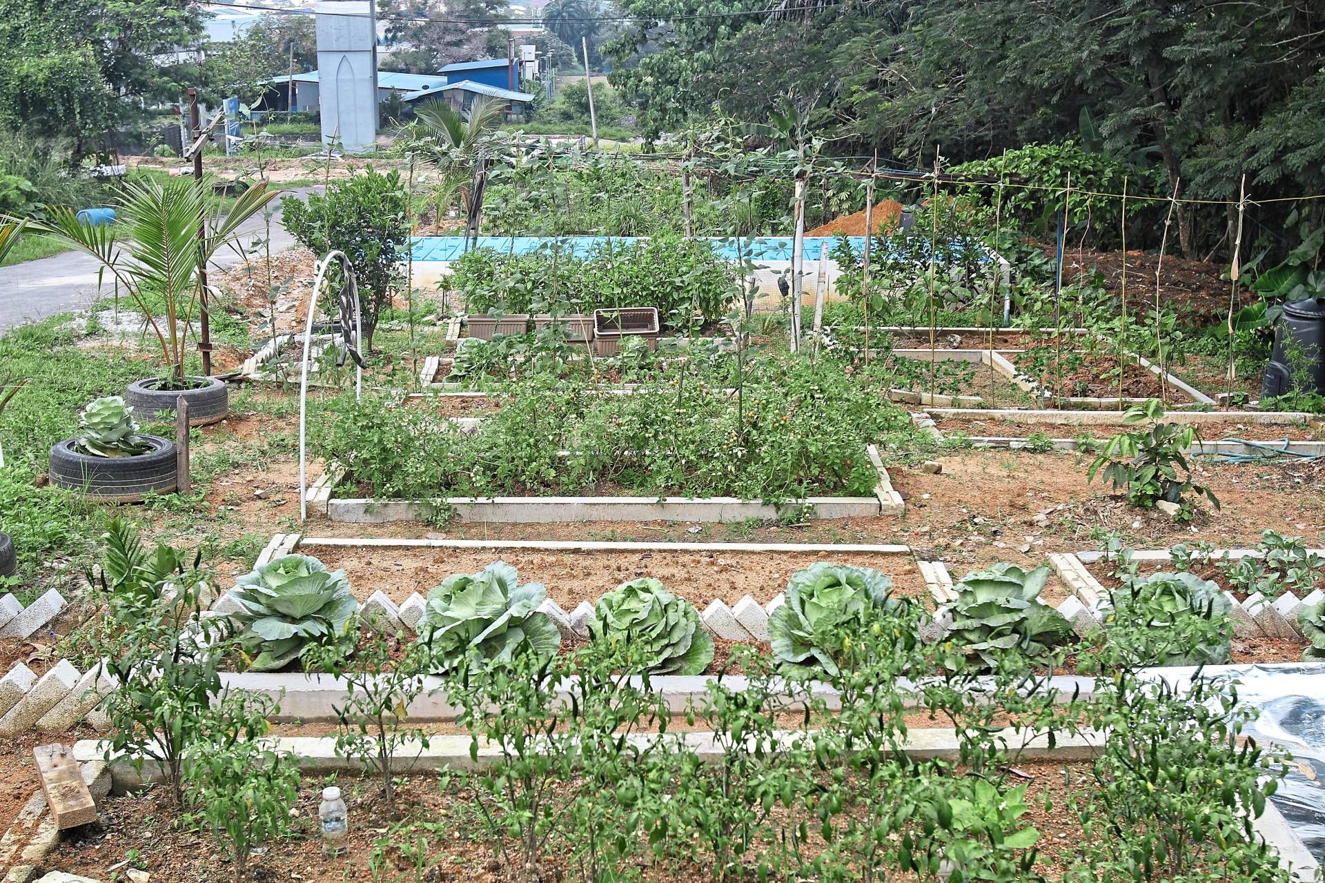 Kampung Selamat's urban farm sits on Syabas reserve land with permission from the water authority.