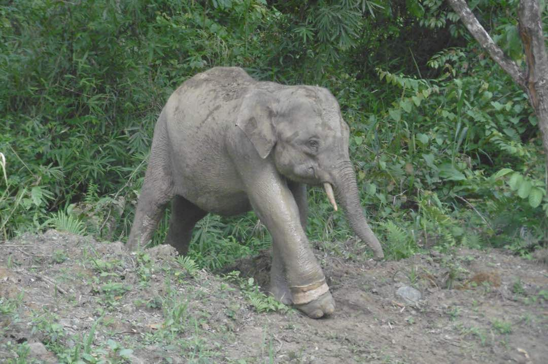 Another elephant found dead in Sabah, fourth in two months
