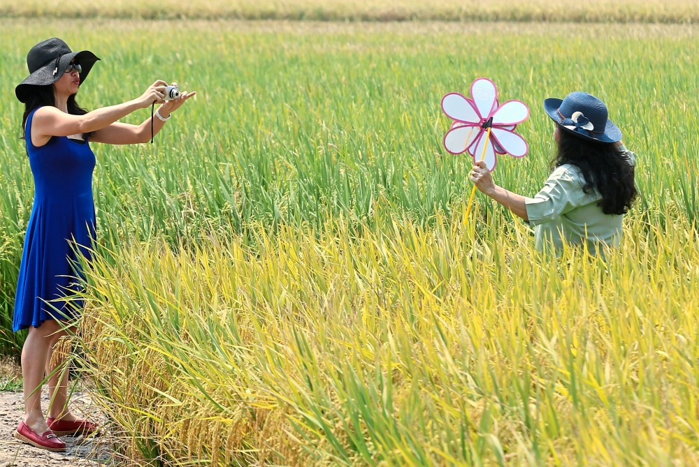 Tourists taking photos in the picturesque paddy fields, one of Sekinchan's main attractions.