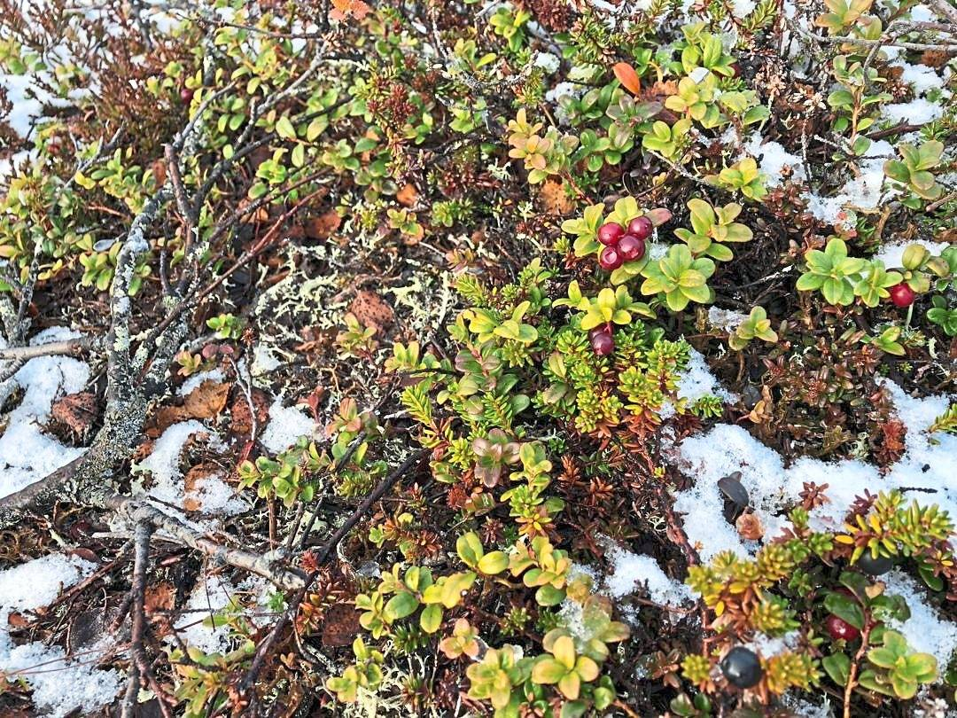 Red berries at Urho Kekkonen National Park. — WONG CHUN WAI/The Star