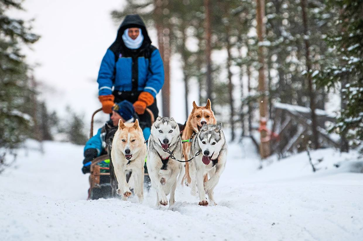 Tourists riding a dogsled at Rovaniemi. Lapland's reindeer-herding Sami people are protesting that some in the tourist industry spread offensive stereotypes about the indigenous tribe. — Photos: AFP