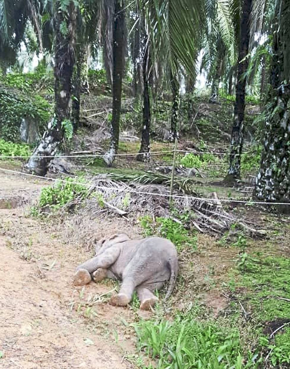 The Bornean pygmy elephant lying dead at an oil palm plantation in Ladang Malangking in Sukau, Sabah.