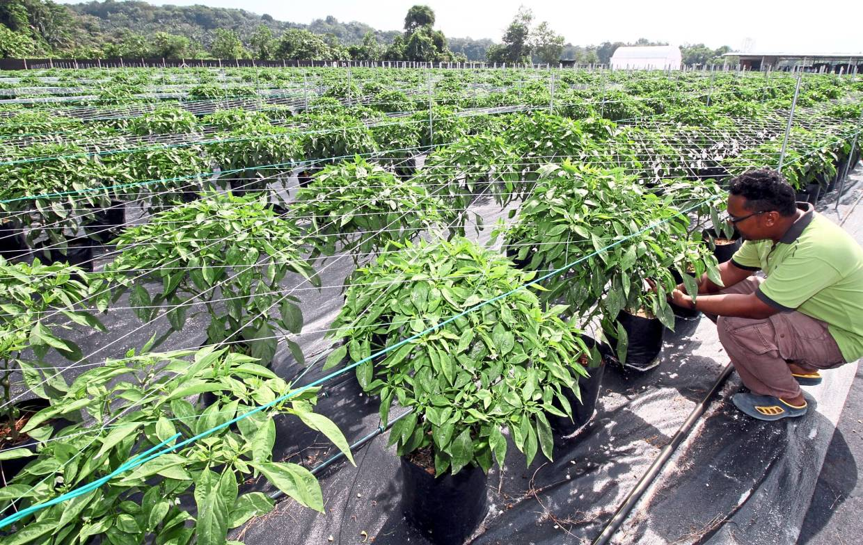 Moving upstream: The company has contract farms to buffer shortages and work with local farmers to absorb any excess supply of chillies.