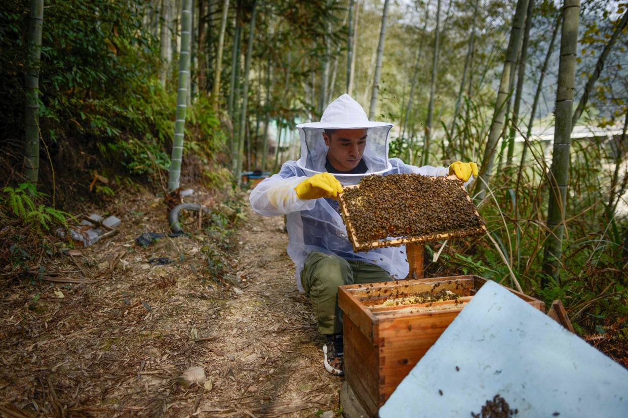 Ma collecting honey at his apiary in Songyang county in China's Zhejiang province.