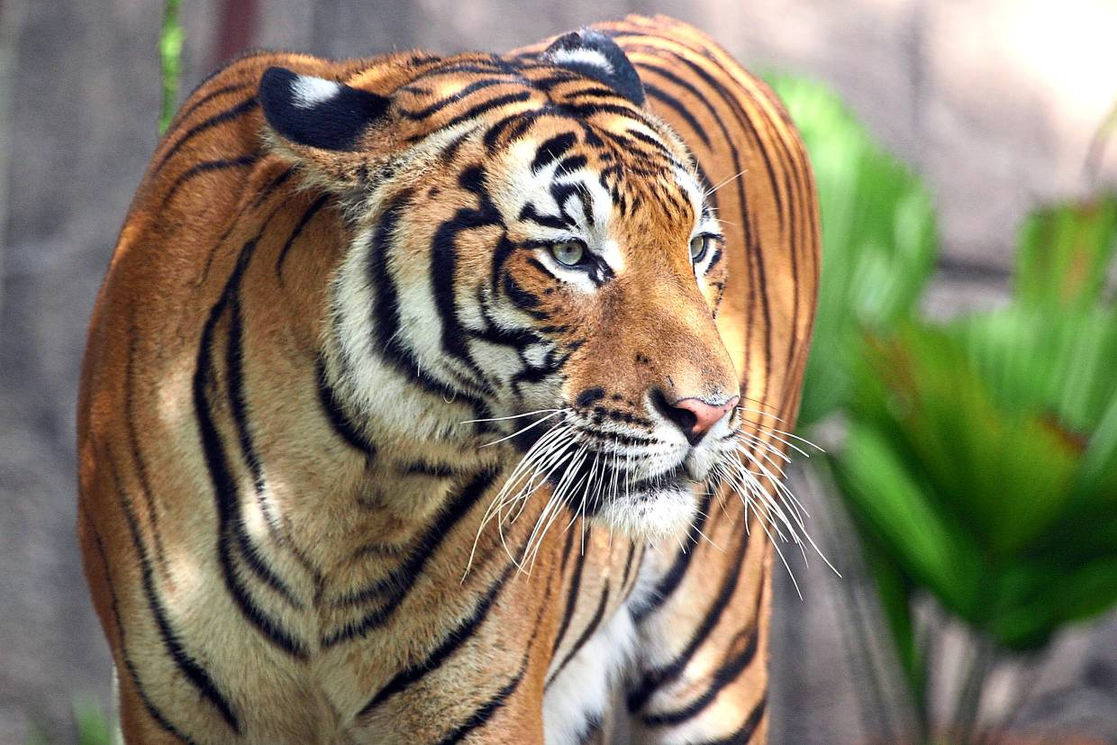 The Malayan tiger population in the country, which has been estimated to be as low as 250, will hopefully rebound with a good food supply. — Filepic