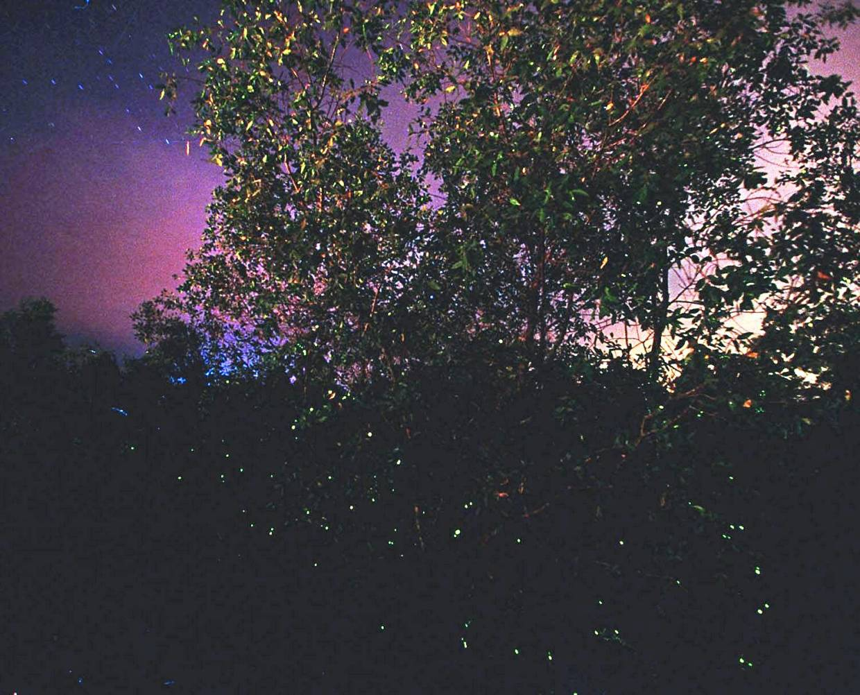 Fireflies can be found in several places in Selangor, but their numbers are dwindling due to serious environmental issues like pollution. — Filepic