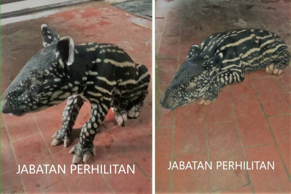 Perhilitan calling out to Malaysians to name baby tapir