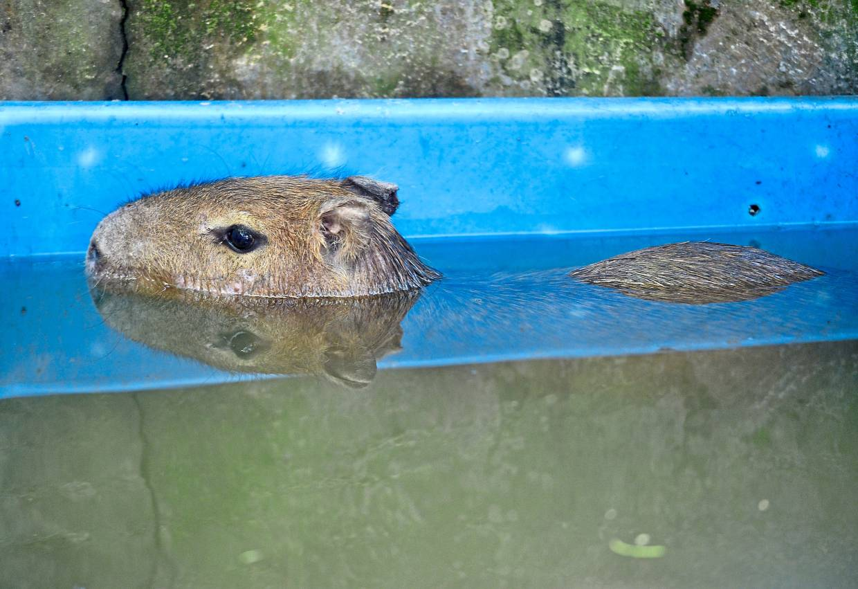 The world's largest rodent, the capybara, loves water.