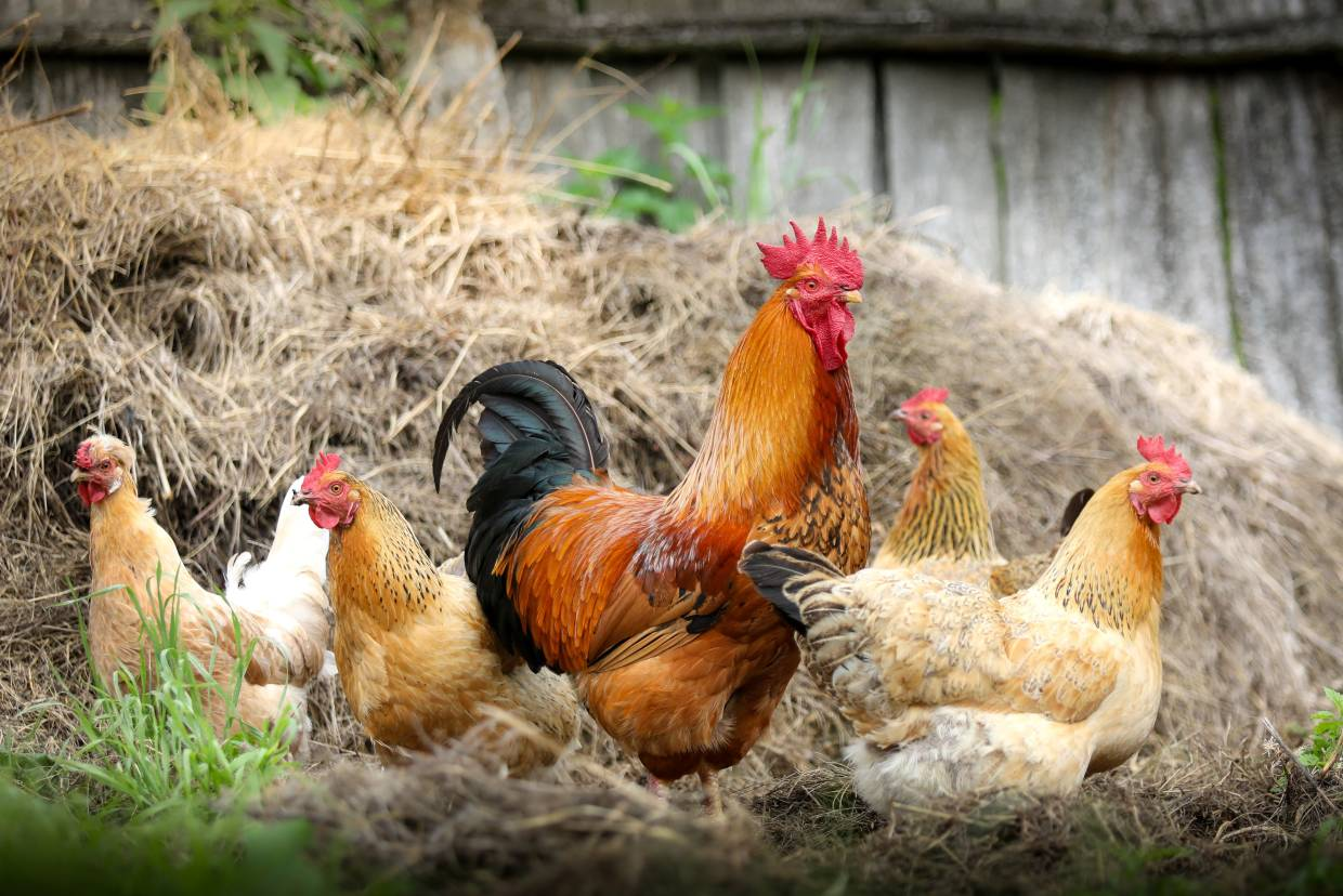 Avoid unprotected contact with live animals including poultry and birds.