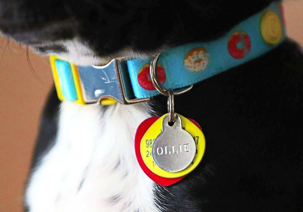 A brand new collar for Ollie, who was adopted by Grasse.