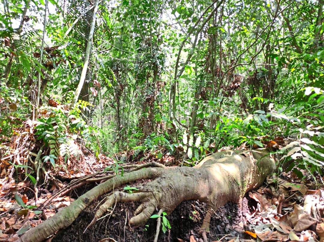 The Kuala Langat North Forest Reserve is estimated to be about 8,000 years old. — Photo courtesy of GEC 2020