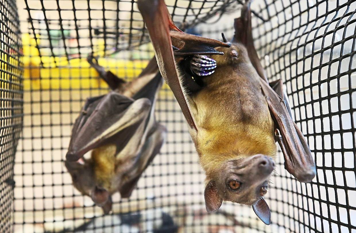 Leone, a straw-coloured fruit bat (right) joins her companion Sierra after her spa day at the Akron Zoo.