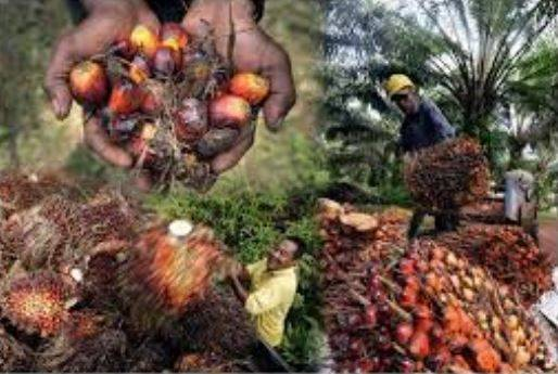 PALM OIL: CPO futures likely to experience technical correction next week