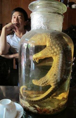 The fetus of a baby pangolin preserved in wine, believed to be in Vietnam.