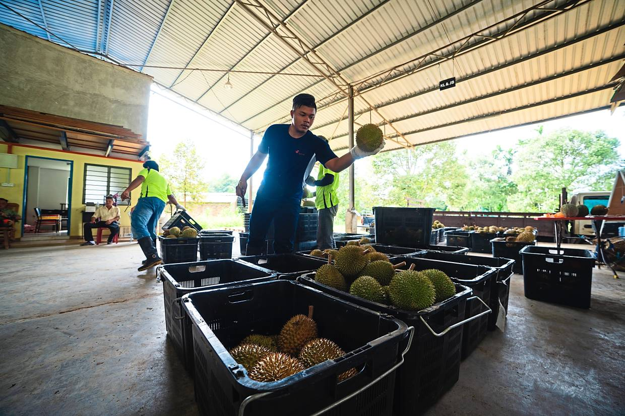 Supporting others: The company also works with other durian growers to apply modern farming methods