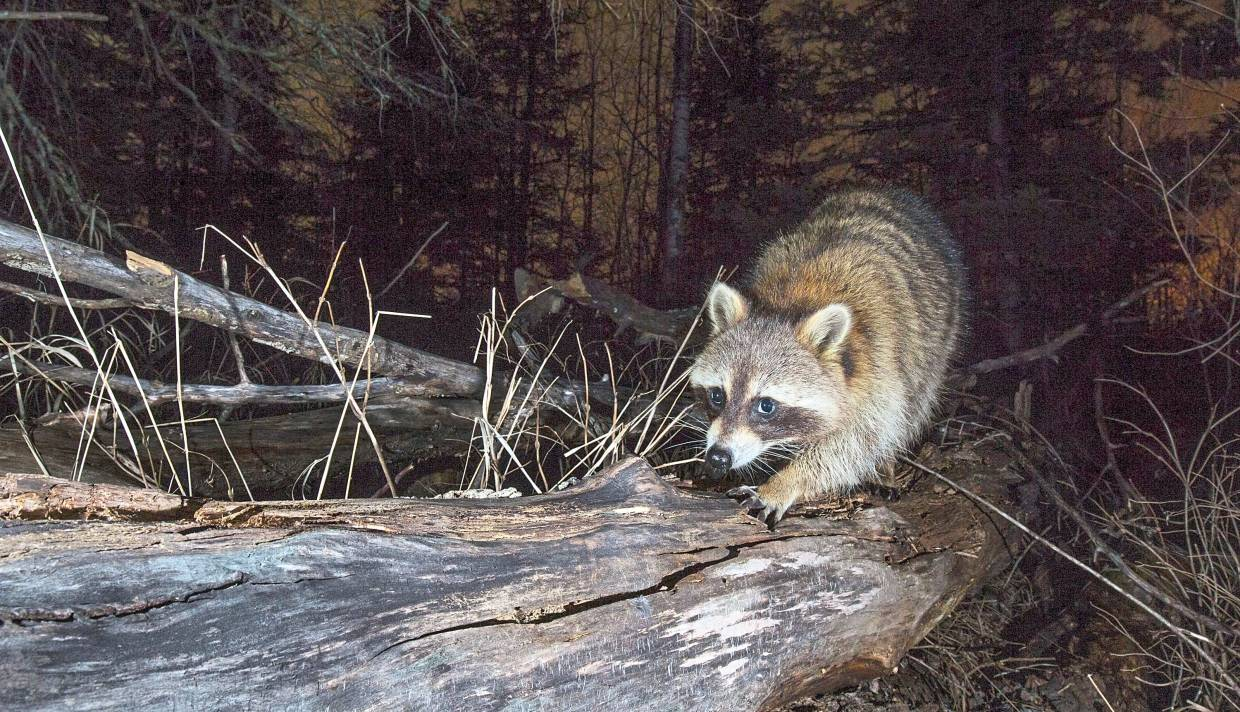 A raccoon walks up a log over a creek, a common location to capture animals on camera traps.