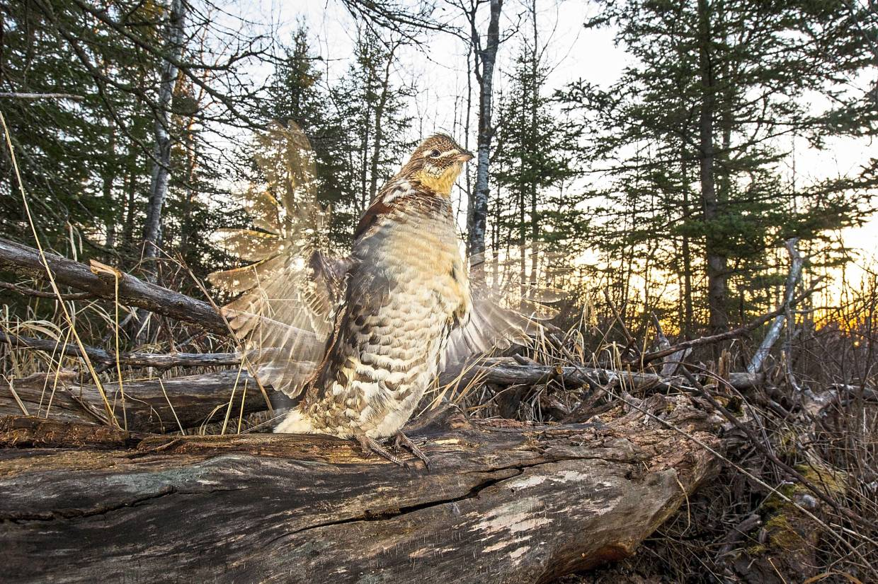 A drumming ruffed grouse captured on a camera trap placed by Pennesi.