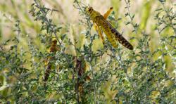 China issues warning for desert locusts