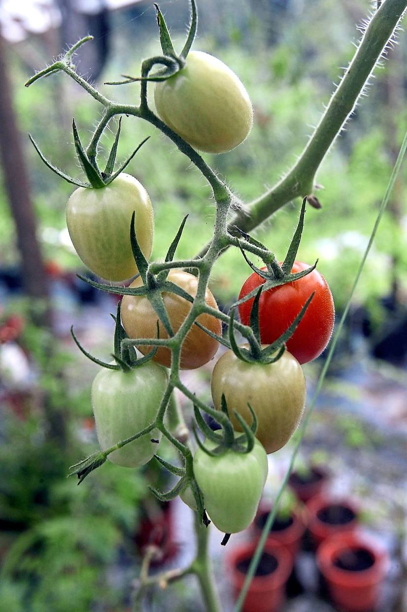 With a few simple steps, consumers can grow mouth-watering tomatoes in their backyard. Photo: The Star/Art Chen