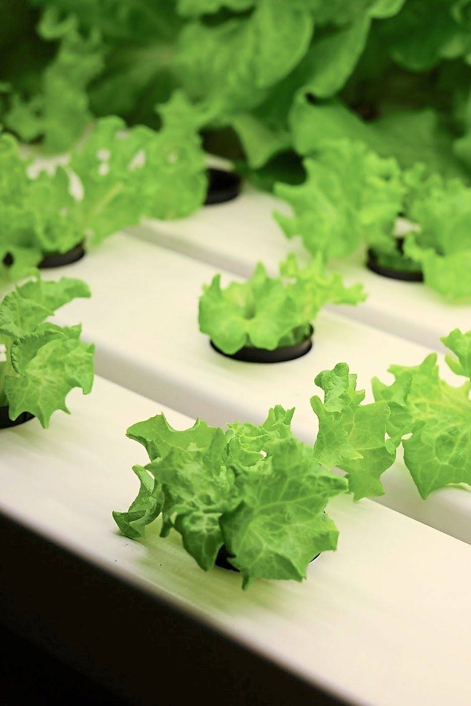 In vertical farming, plants like vegetables, herbs and fruits are grown in a highly-controlled environment.