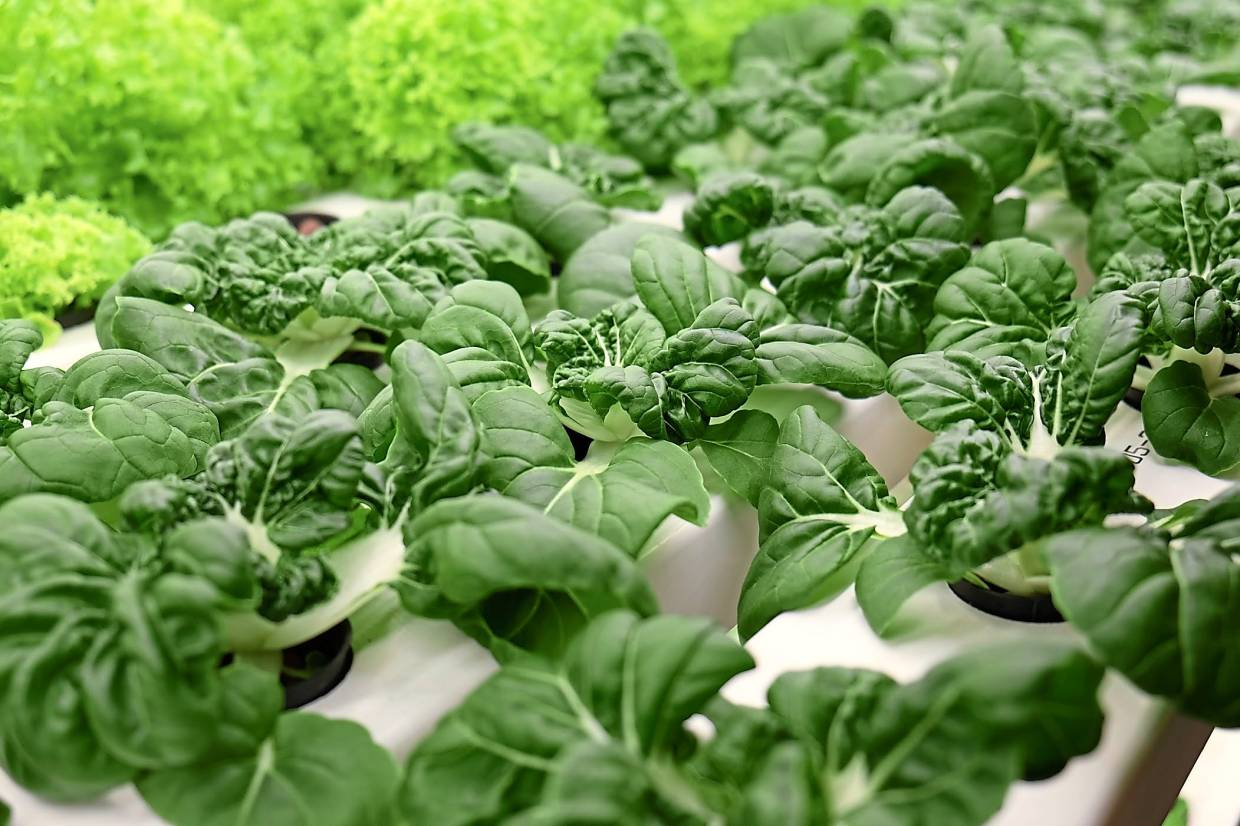 All types of leafy vegetables can be grown indoors using soil-less planting methods.