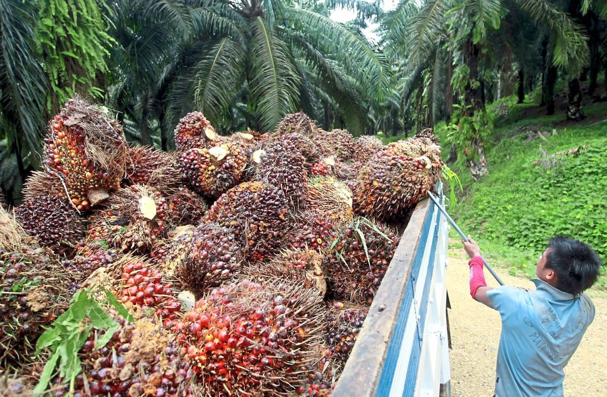 On a decline: A worker harvesting oil palm fruits at a plantation. The recent plunge in CPO prices was caused by demand concerns due to the worsening novel coronavirus outbreak