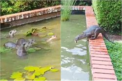 Otters have splashing good time in fish ponds