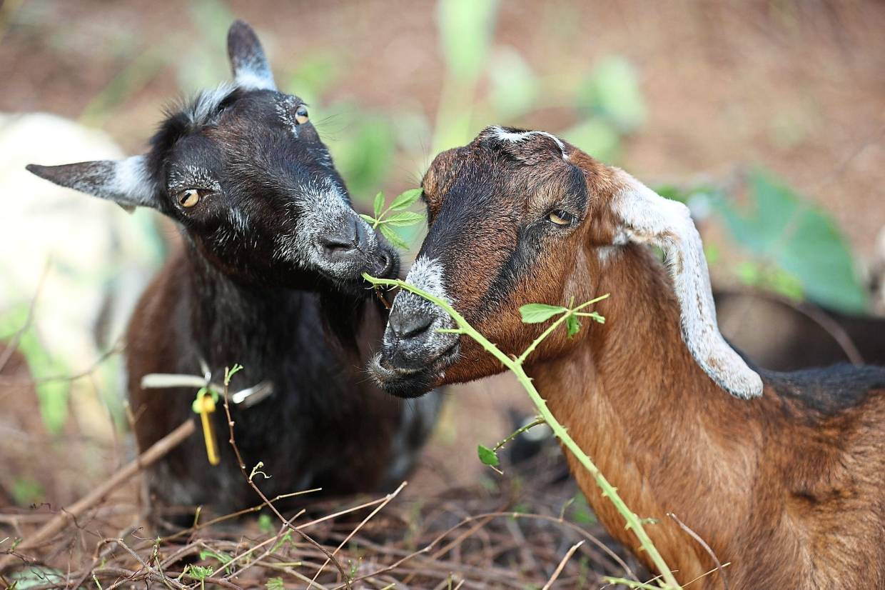 Goats hired to be weed-eaters to clear out an area filled with invasive plant species.