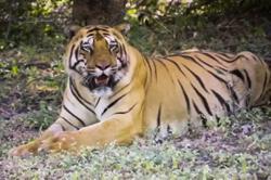 Remote control operation removes tiger's collar in India